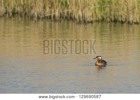 Red-necked Grebe (Podiceps grisegena) adult swimming in water