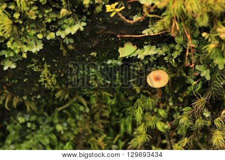 A small brown mushroom growing out from the moss and lichen.