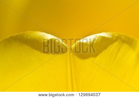 Nature Abstract: Enveloped in the Golden Folds of the Yellow Tulip Petals
