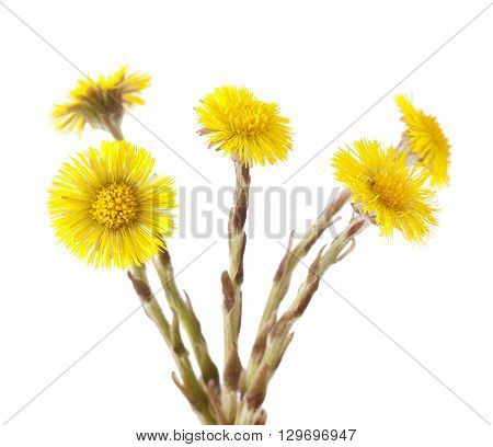 Flowers of coltsfoot (Tussilago farfara) on white background.