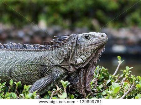 Wild Iguana on the Island of Puerto Rico