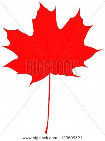 maple ,Acer ,vector , isolated maple leaf,