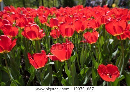 Red Tulips Pallada