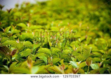 green bush leaves shot with DOF