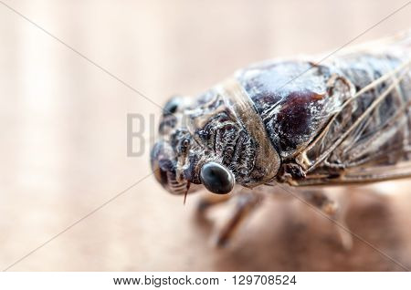 image of cicada insect macro on wood background