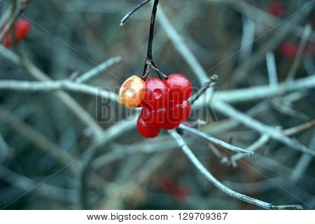 A cluster of red berries clings to a highbush cranberry bush, (Viburnum trilobum), also called the American cranberry bush, in Harbor Springs, Michigan during December.