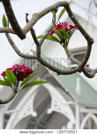 Red Plumeria In Front Of Painted Church Of St Benedict