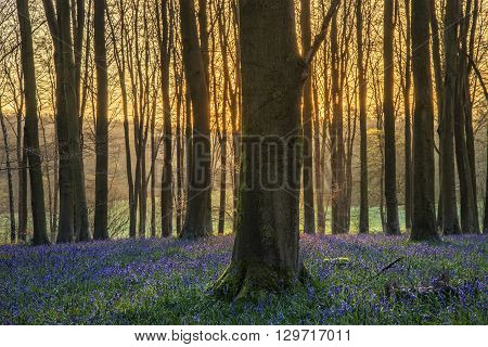 Stunning Landscape Of Bluebell Forest In Spring In English Countryside