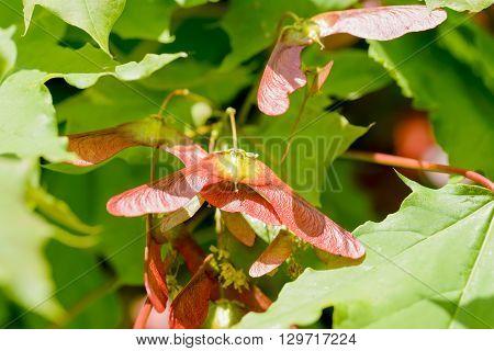 Acer Circinatum Samara