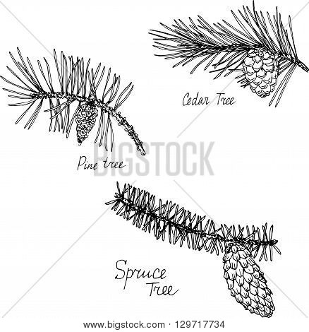 hand drawn branches of conifers, pine tree branch, pine tree branch and spruce tree branch with needles and cones, plants set, sketch vector illustration