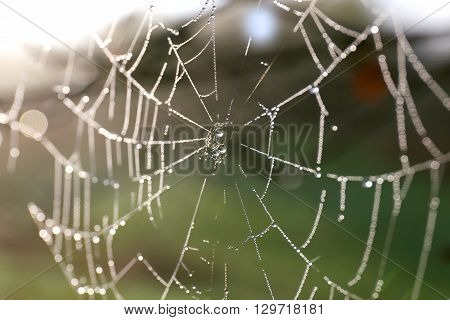 Spiderweb Covered In Morning Water Dew Droplets