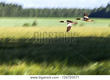 A blurry farmland in summer colors. Green and yellow fields, sunshine and shadows. Forest in the background. Goo-sander in migration.