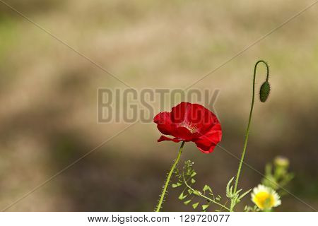 Red flower and a bud in a summer garden. Fuzzy background.