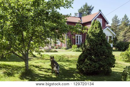 RURAL COUNTY, SWEDEN ON AUGUST 04. View of a summer garden, German shepherd and a red house on August 04, 2013 in Rural County, Sweden. Bright sunshine and shadows. Editorial use.
