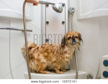Wet Pekingese In The Shower