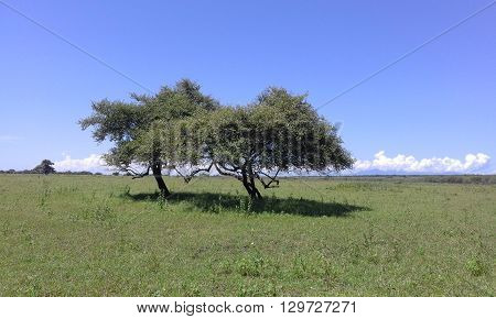 a couple of trees in the middle of savana land at Baluran National Park, Indonesia