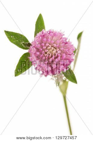 Macro blooming clover with drops of water isolated on white background