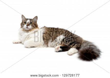 fluffy cat close up isolated on white background. horizontal photo.