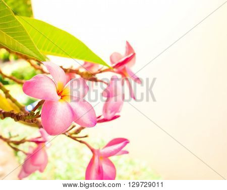 Pink Plumeria On The Plumeria Tree, Frangipani Tropical Flowers.