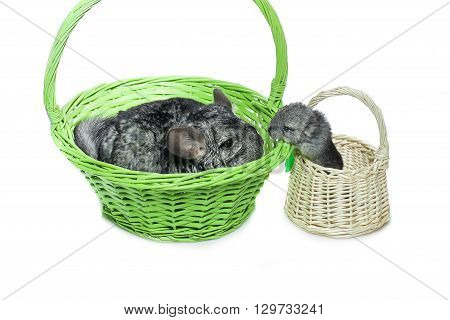 Chinchilla mother with baby sitting in baskets isolated over white background. Copy space.