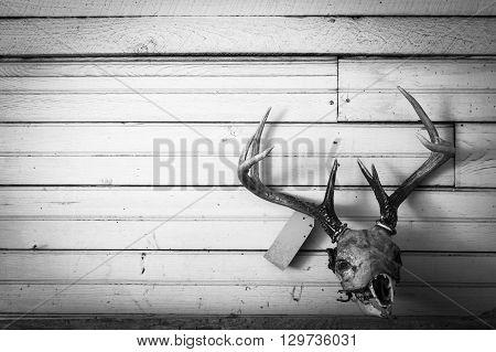 Deer skull mount on old shiplap wall