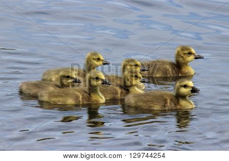 A group of seven Canada Geese goslings swimming on a together pond.