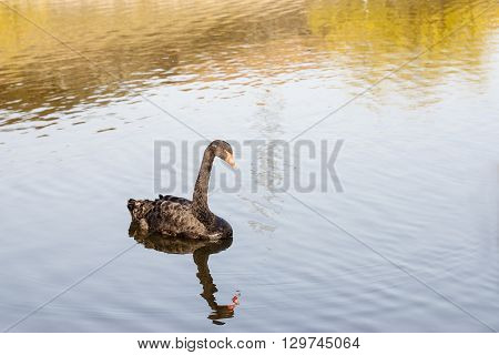 Black swan swimming on a lake on a sunny afternoon.