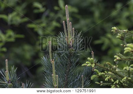 Pine sprout close up in rainy day