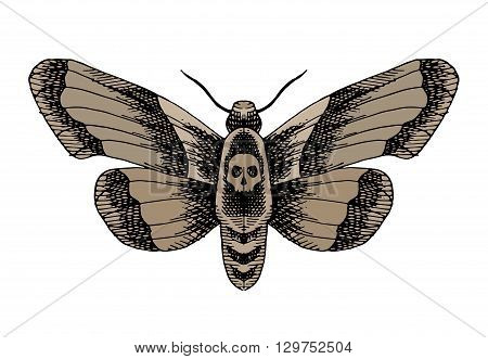 Death head moth. Hand drawn vector stock illustration. Isolated on white background