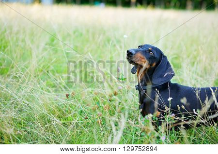 Black And Red Dachshund Among The Green Grass