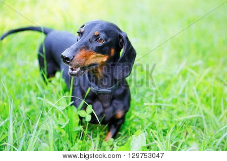 Black And Red Smooth-haired Dachshund Among The Green Grass