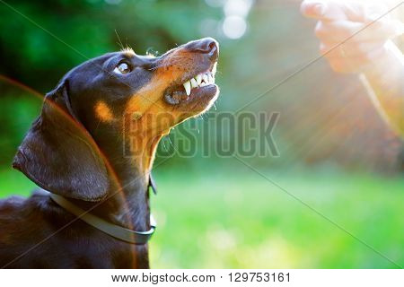 Aggressive Black Dachshund Bared Its Teeth In Front Of The Woman Hand