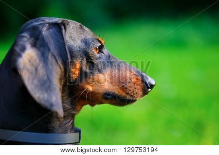 Portrait Of Black And Red Dachshund