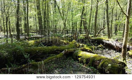 fallen trees in a bright spring forest