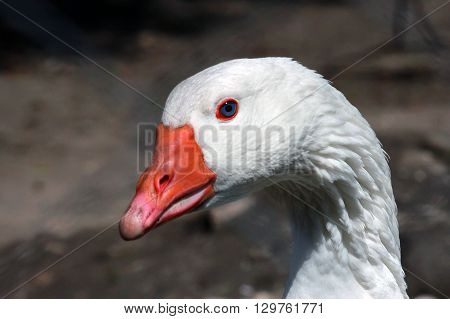 a White goose head portrait close up
