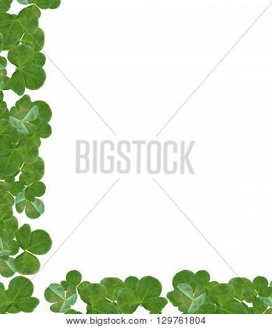 leaf clover on white background. Green foliage