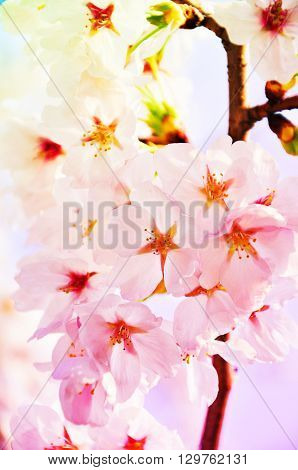 Cheery blossom in Hiroshima Japan with pastel gradient background