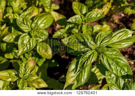 fresh basil growing in the countryside in summer