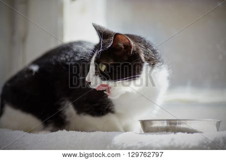 Cat of a black-and-white color looking back eats from a bowl