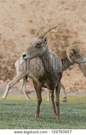 a desert bighorn sheep ewe standing head on