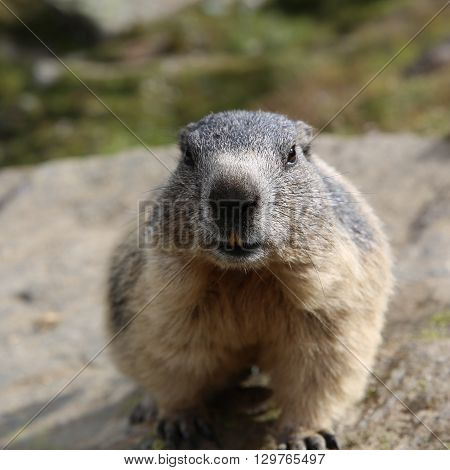Alpine Marmot at Pennine Alps. Switzerland. Europe