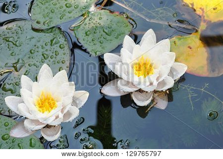 Water lilies Latin name Nymphaea lutea flowers
