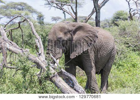 An elephant grazing on the Serengeti I Tanzania, Africa