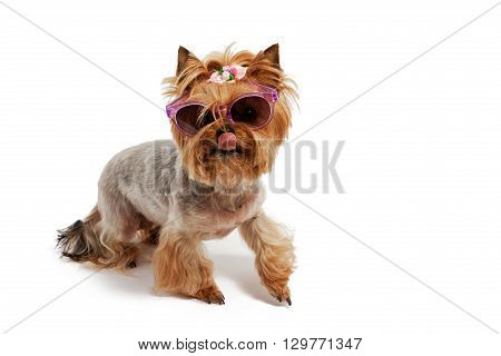 Yorkshire Terrier wearing bow on the isolated background