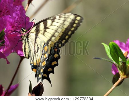 Eastern Tiger Swallowtail Butterfly on a flower in Mclean near Washington DC 21 April 2016 USA