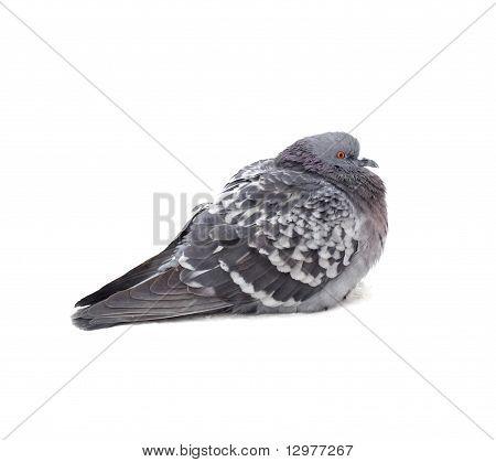 One grey pigeon