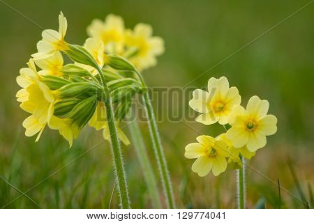 macro of primrose cowslip primula flower at garden grass in spring