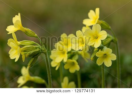 several yellow blossoms of common cowslip flower at spring