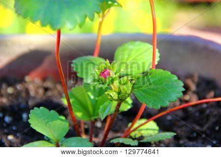 the emerging flower Bud of strawberry, quite small with only a couple of leaves, but it is about to bloom