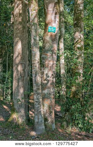 A cluster of Cape Blackwood trees Maytenus peduncularis in the Knysna forest at the Ysterhoutrug picnic spot